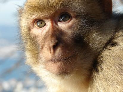 gibraltar_barbary_macaque