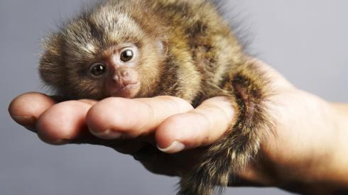 how-do-pygmy-marmosets-protect-themselves_6008a2e91efaa590