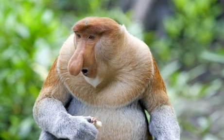 proboscis_species